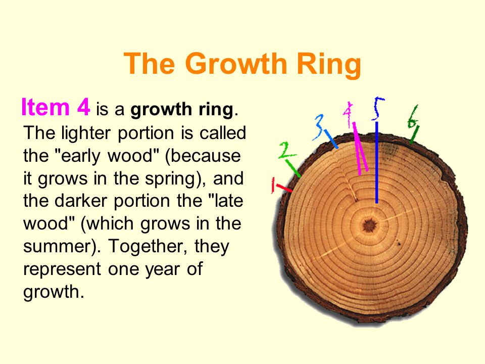 The Heartwood Item 5 is the heartwood.Heartwood develops as a tree gets older.