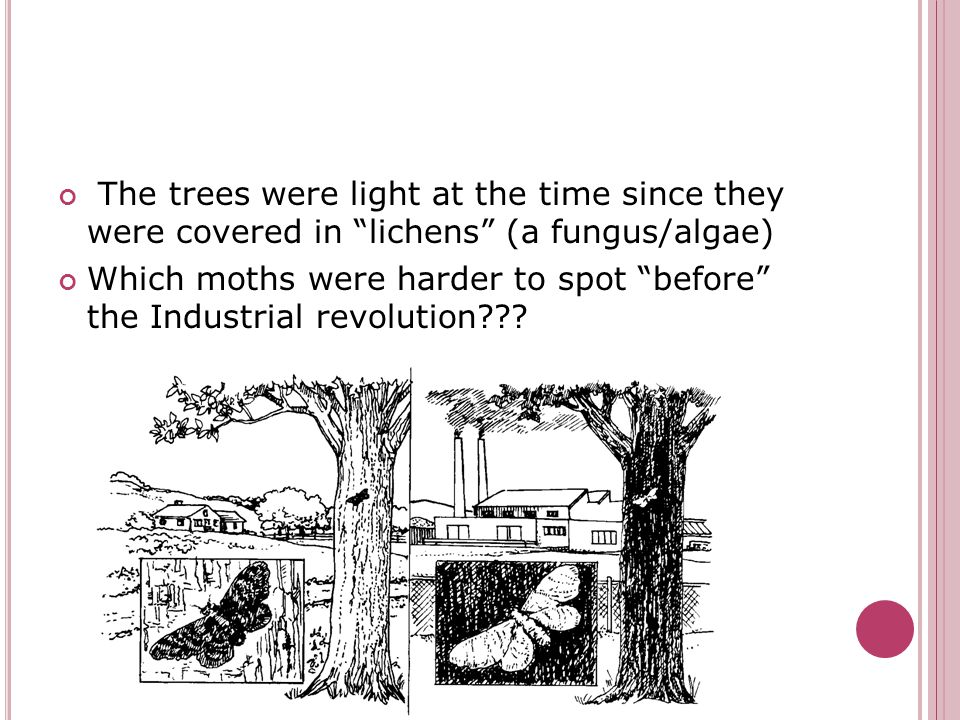 "The trees were light at the time since they were covered in ""lichens"" (a fungus/algae) Which moths were harder to spot ""before"" the Industrial revolut"