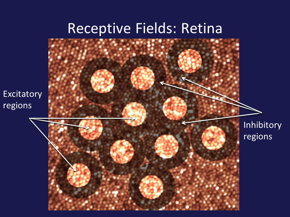 Receptive Fields: Retina Excitatory regions Inhibitory regions