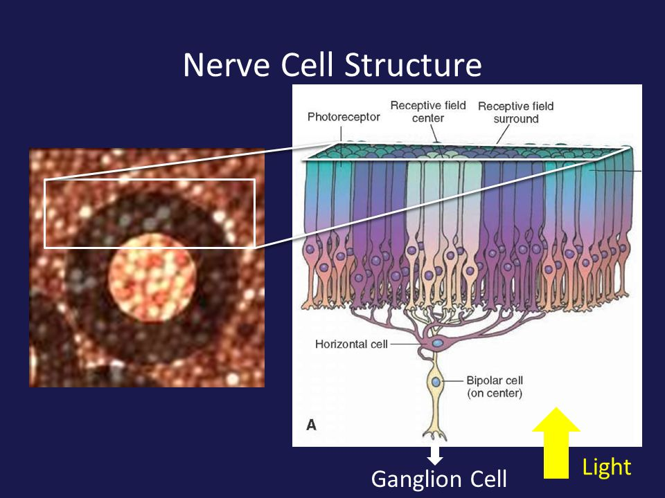 Receptive Field on the Retina The size of the receptors and the receptive field are shown here much larger than actual size!