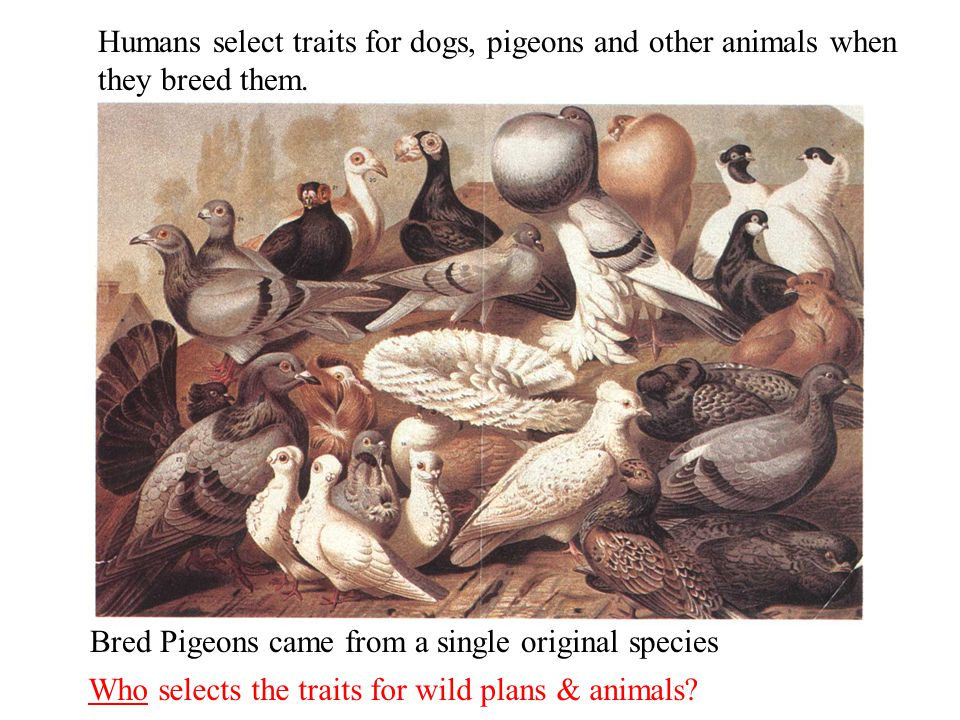 Bred Pigeons came from a single original species Humans select traits for dogs, pigeons and other animals when they breed them.