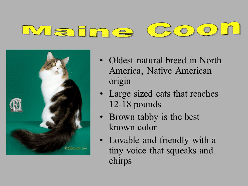 Oldest natural breed in North America, Native American origin Large sized cats that reaches 12-18 pounds Brown tabby is the best known color Lovable and friendly with a tiny voice that squeaks and chirps
