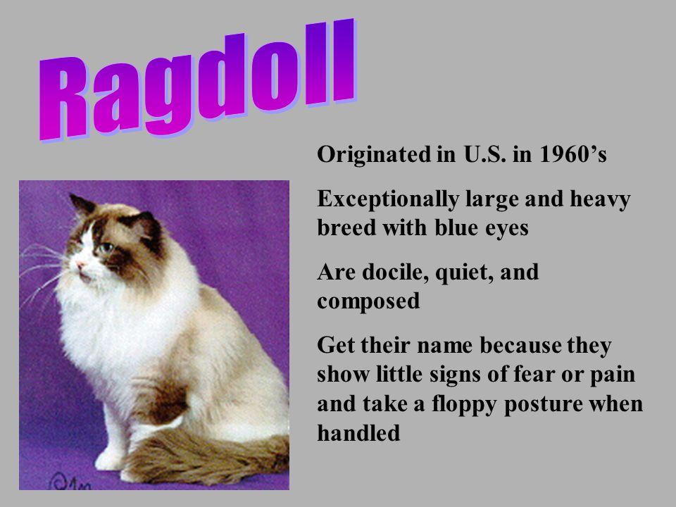 Originated in U.S. in 1960's Exceptionally large and heavy breed with blue eyes Are docile, quiet, and composed Get their name because they show littl