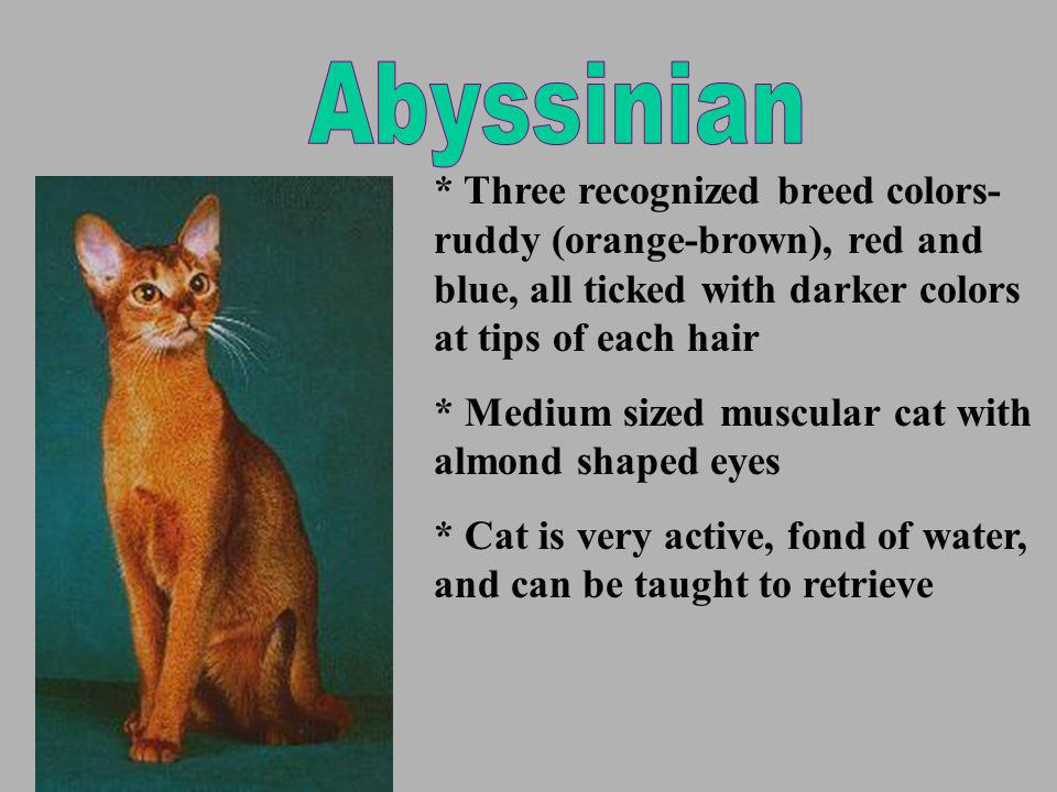 * Three recognized breed colors- ruddy (orange-brown), red and blue, all ticked with darker colors at tips of each hair * Medium sized muscular cat with almond shaped eyes * Cat is very active, fond of water, and can be taught to retrieve