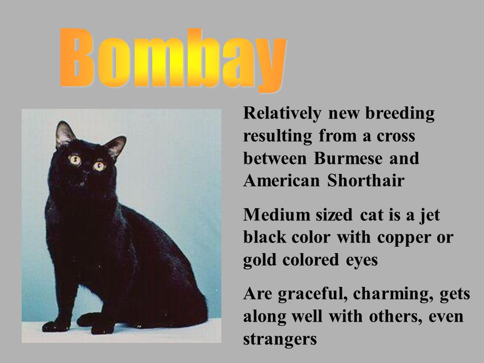 Oldest natural English breed Larger and taller than American Shorthair with large rounded head and big, round copper or gold eyes Quiet, easy going, docile nature that likes to sleep a lot