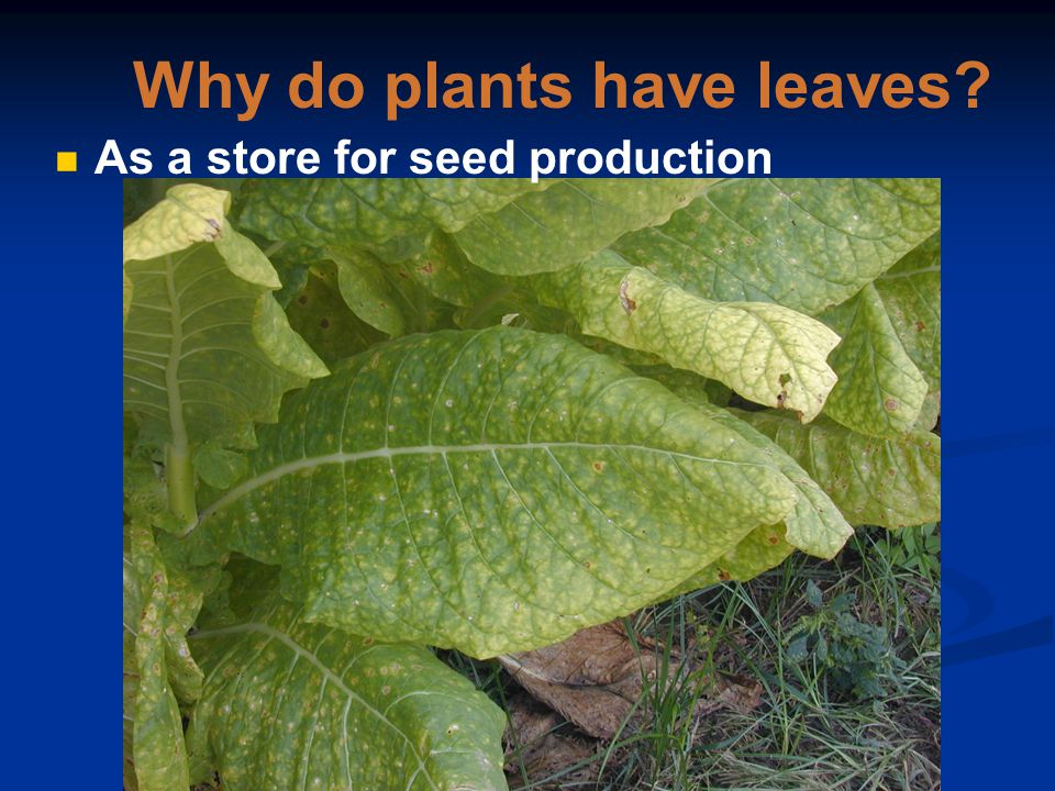 Question 1 Why do plants have leaves? As a store for seed production