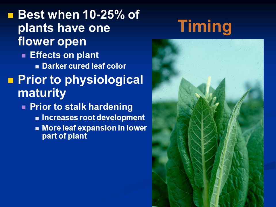 Timing Best when 10-25% of plants have one flower open Effects on plant Darker cured leaf color Prior to physiological maturity Prior to stalk hardening Increases root development More leaf expansion in lower part of plant