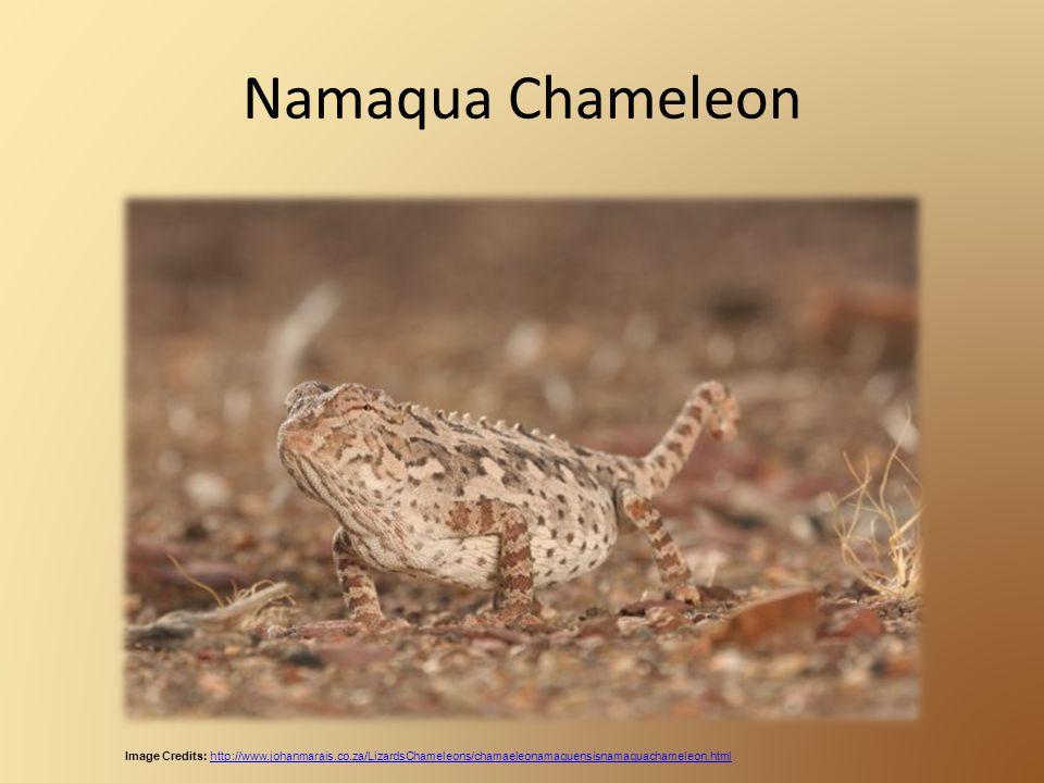 Namaqua Chameleon Image Credits: http://www.johanmarais.co.za/LizardsChameleons/chamaeleonamaquensisnamaquachameleon.htmlhttp://www.johanmarais.co.za/LizardsChameleons/chamaeleonamaquensisnamaquachameleon.html