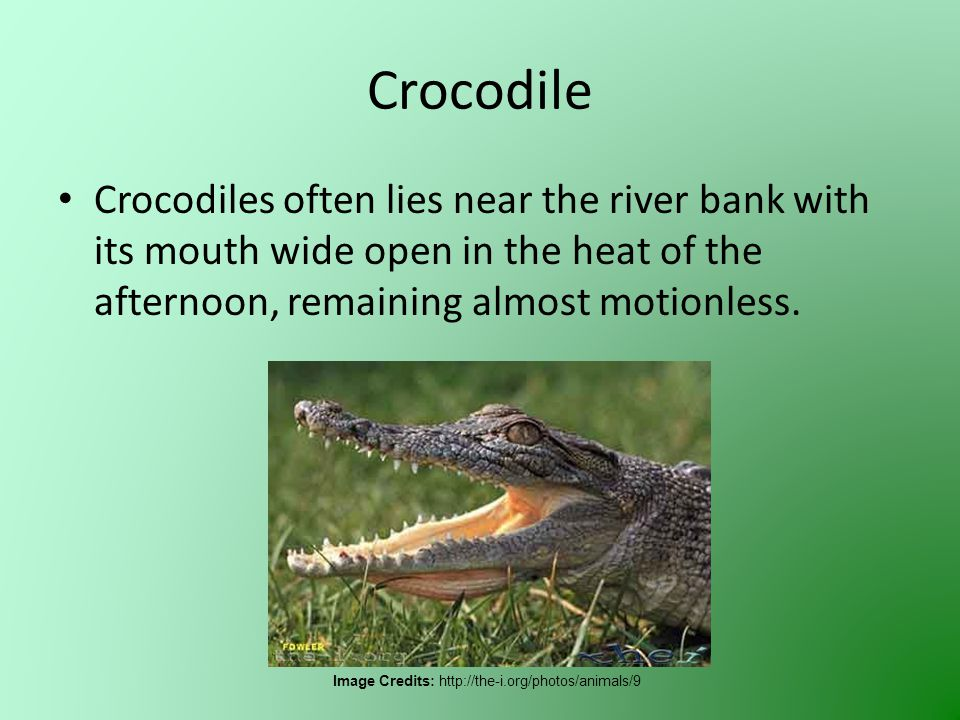 Crocodile Crocodiles often lies near the river bank with its mouth wide open in the heat of the afternoon, remaining almost motionless. Image Credits: