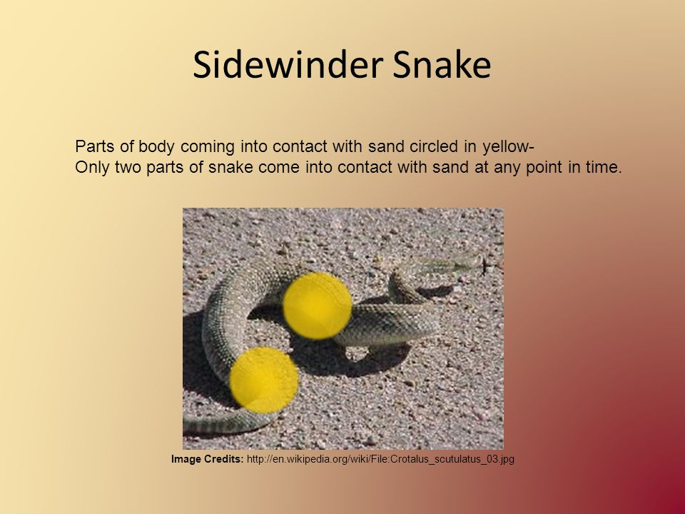 Sidewinder Snake Image Credits: http://en.wikipedia.org/wiki/File:Crotalus_scutulatus_03.jpg Parts of body coming into contact with sand circled in ye