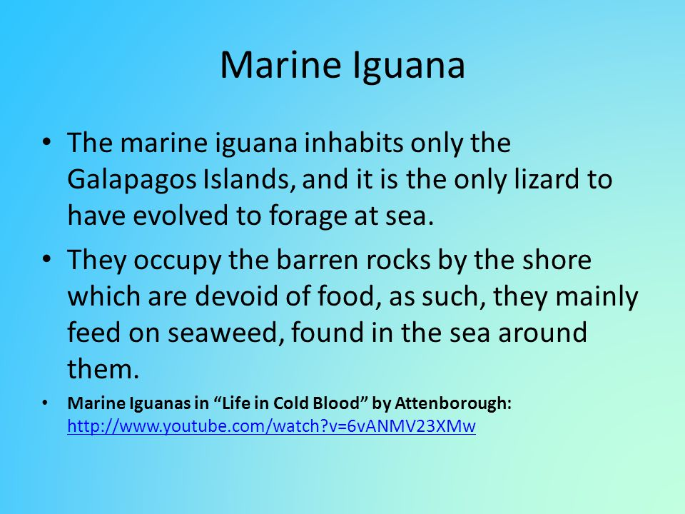 Marine Iguana The marine iguana inhabits only the Galapagos Islands, and it is the only lizard to have evolved to forage at sea.