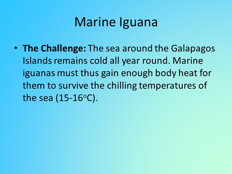 Marine Iguana The Challenge: The sea around the Galapagos Islands remains cold all year round. Marine iguanas must thus gain enough body heat for them