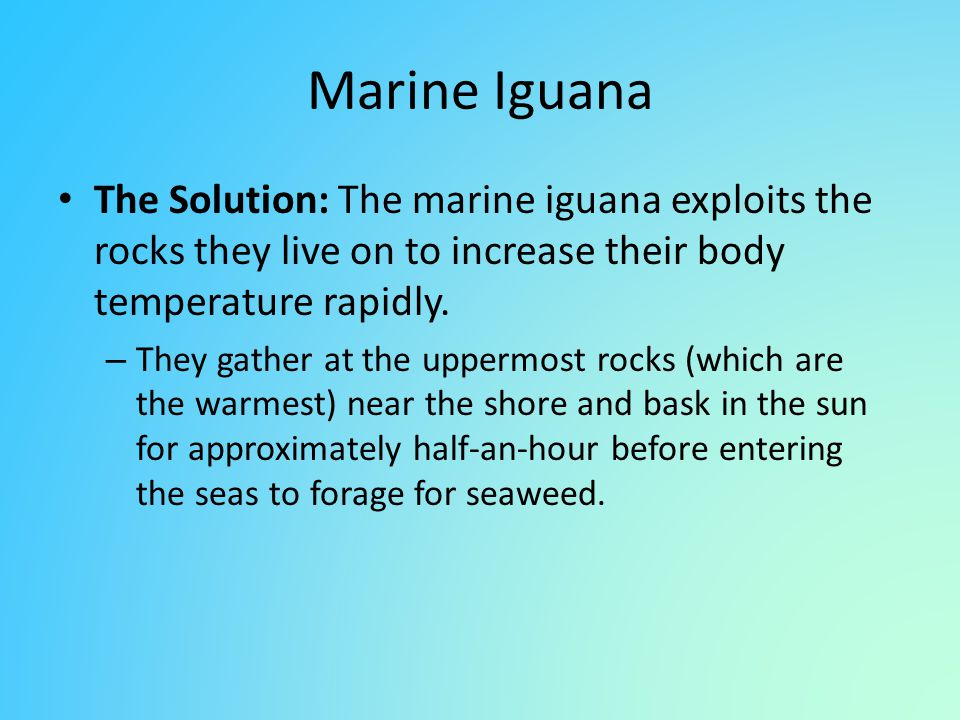 Marine Iguana The Solution: The marine iguana exploits the rocks they live on to increase their body temperature rapidly. – They gather at the uppermo