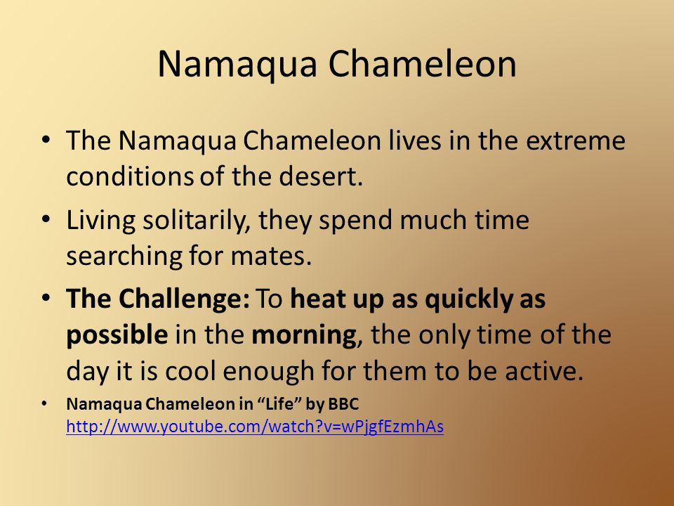 Namaqua Chameleon The Namaqua Chameleon lives in the extreme conditions of the desert.