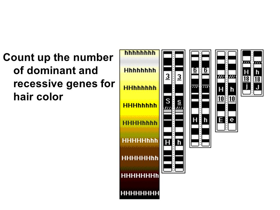 Count up the number of dominant and recessive genes for hair color