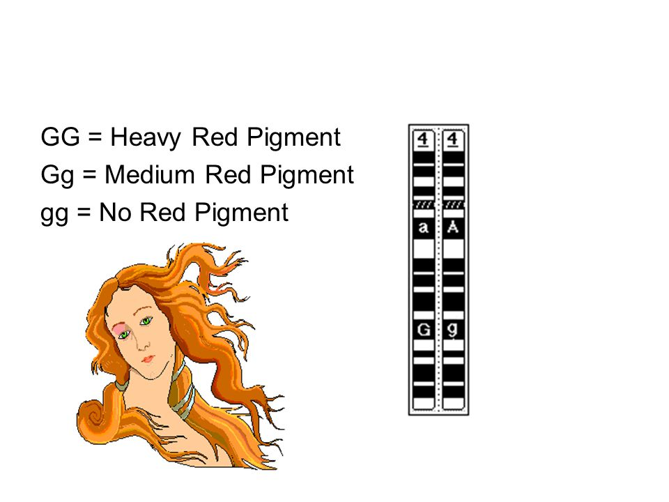 GG = Heavy Red Pigment Gg = Medium Red Pigment gg = No Red Pigment