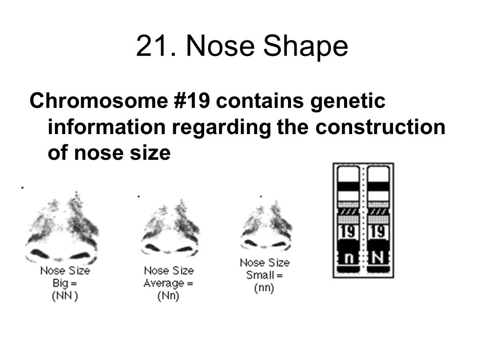 21. Nose Shape Chromosome #19 contains genetic information regarding the construction of nose size