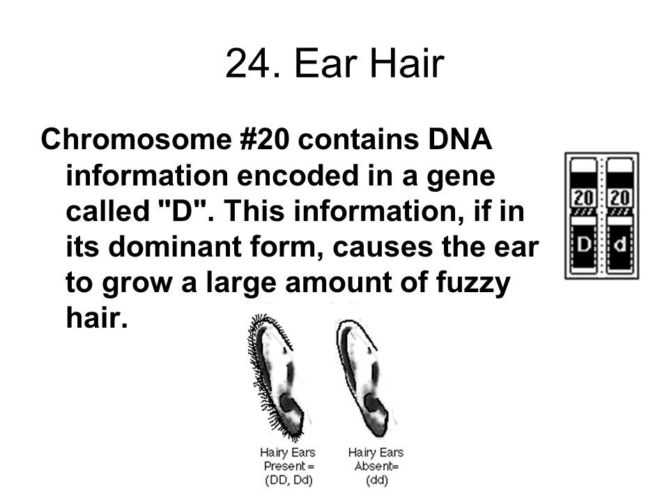 24. Ear Hair Chromosome #20 contains DNA information encoded in a gene called