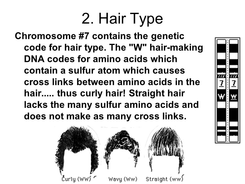 2. Hair Type Chromosome #7 contains the genetic code for hair type. The