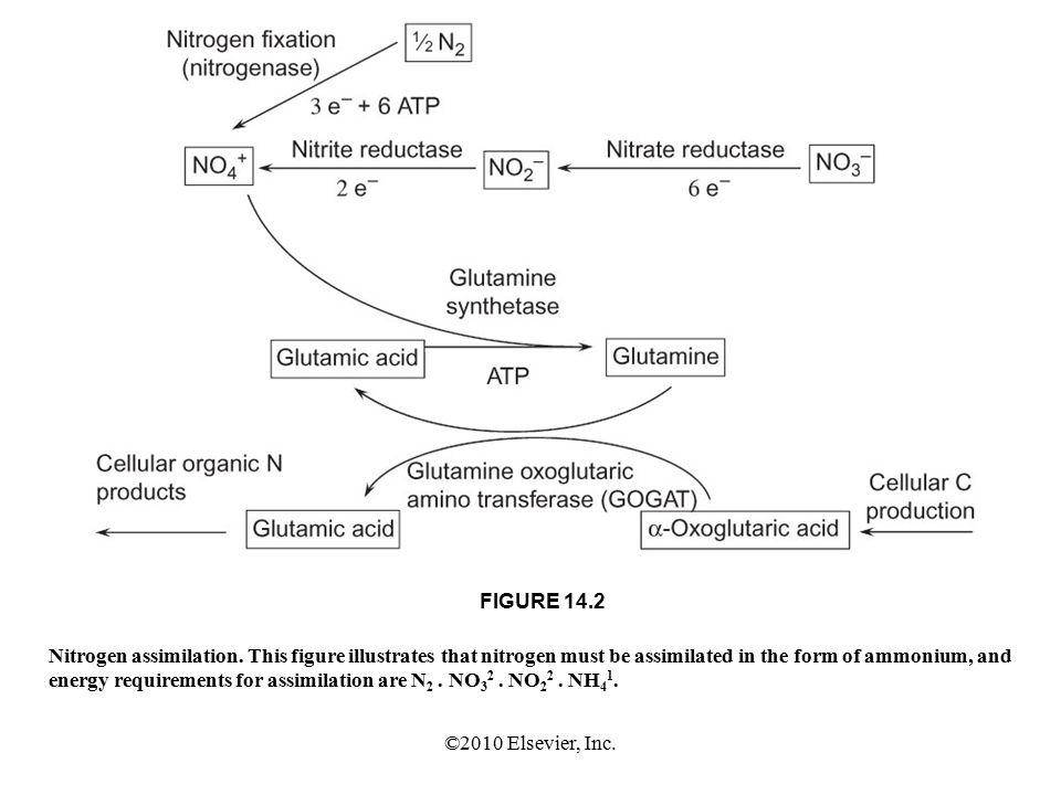 ©2010 Elsevier, Inc. FIGURE 14.2 Nitrogen assimilation.