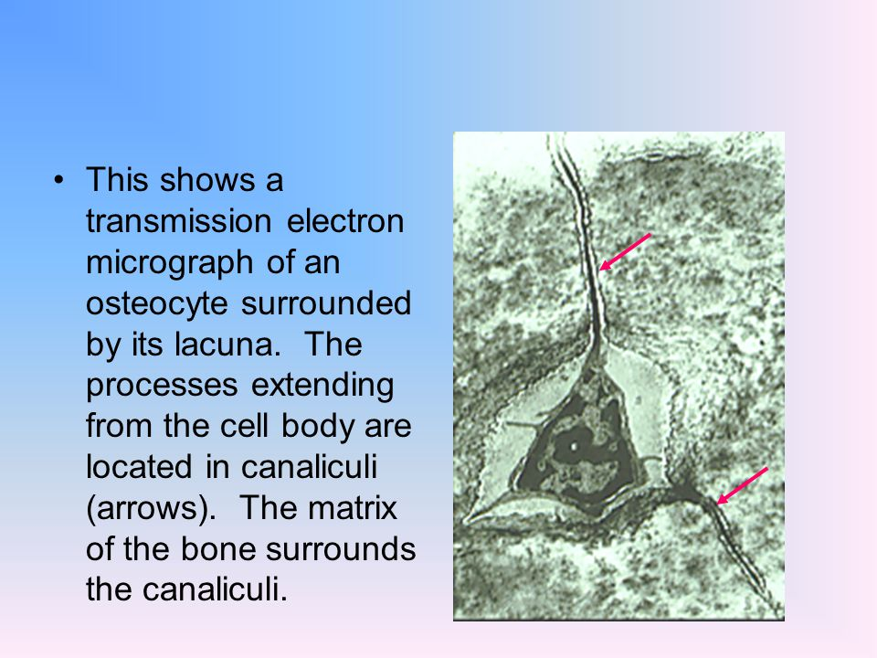 This shows a transmission electron micrograph of an osteocyte surrounded by its lacuna. The processes extending from the cell body are located in cana