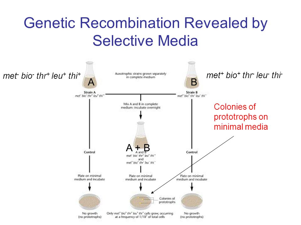 Genetic Recombination Revealed by Selective Media Colonies of prototrophs on minimal media met - bio - thr + leu + thi + met + bio + thr - leu - thi - AB A + B