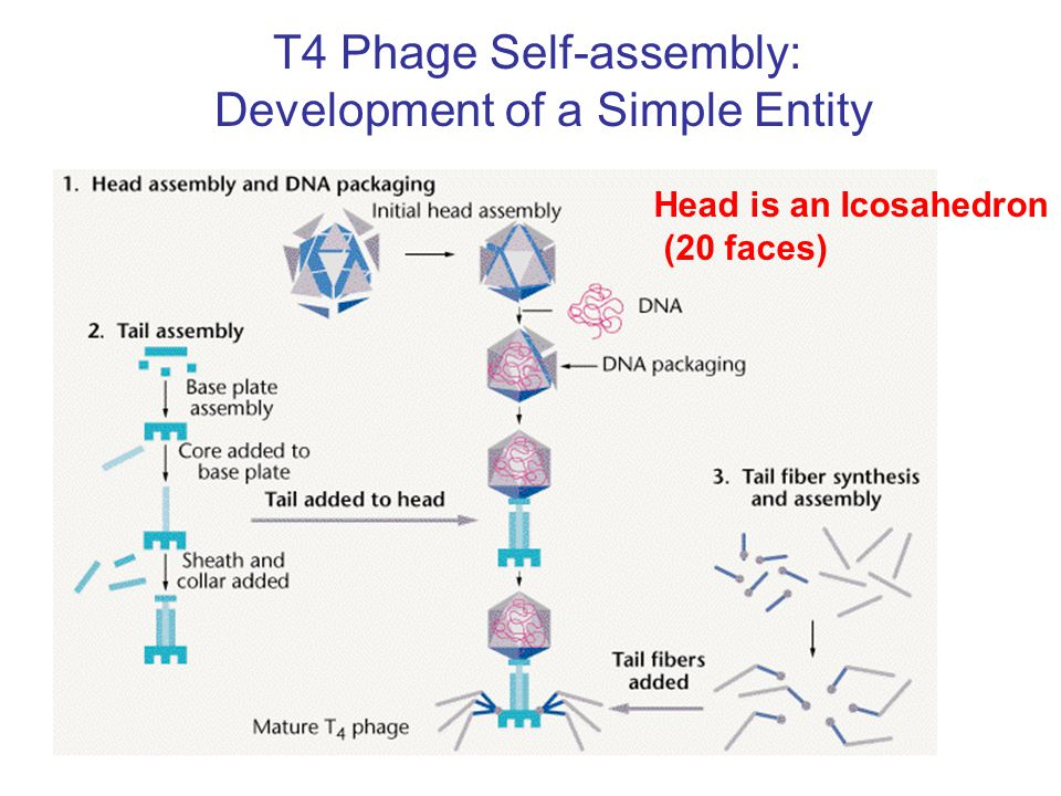 T4 Phage Self-assembly: Development of a Simple Entity Head is an Icosahedron (20 faces)