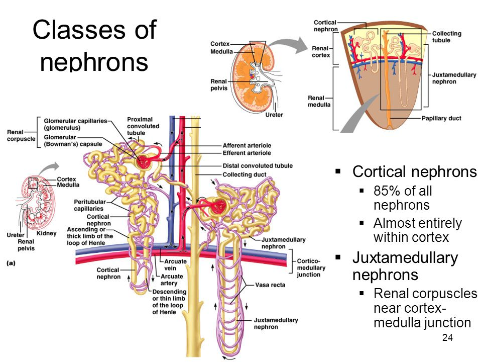 24 Classes of nephrons  Cortical nephrons  85% of all nephrons  Almost entirely within cortex  Juxtamedullary nephrons  Renal corpuscles near cortex- medulla junction