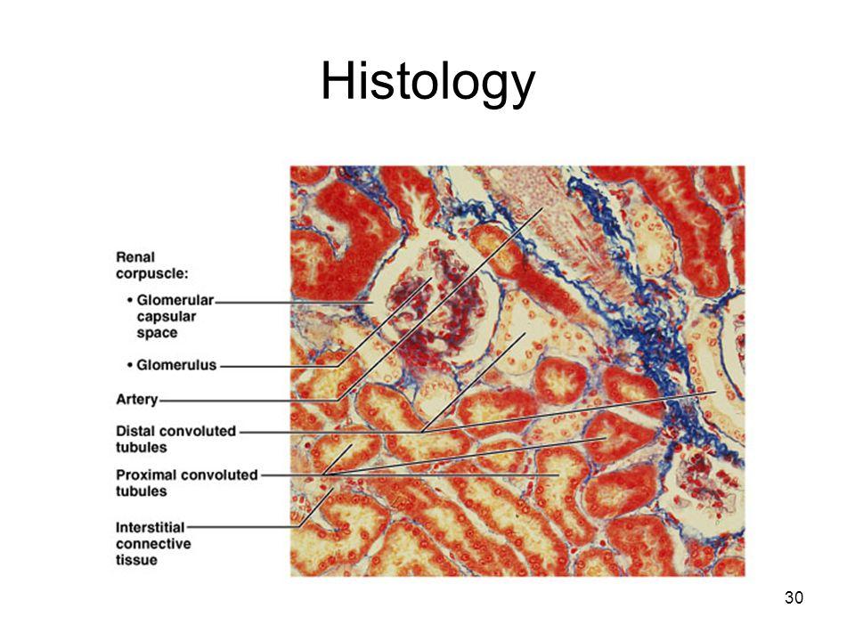 30 Histology