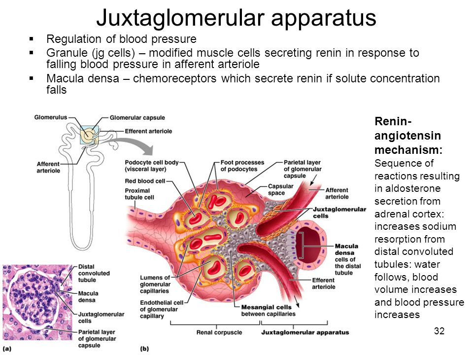 32 Juxtaglomerular apparatus  Regulation of blood pressure  Granule (jg cells) – modified muscle cells secreting renin in response to falling blood pressure in afferent arteriole  Macula densa – chemoreceptors which secrete renin if solute concentration falls Renin- angiotensin mechanism: Sequence of reactions resulting in aldosterone secretion from adrenal cortex: increases sodium resorption from distal convoluted tubules: water follows, blood volume increases and blood pressure increases
