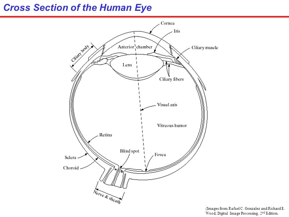 Visual Perception: Human Eye (Picture from Microsoft Encarta 2000)