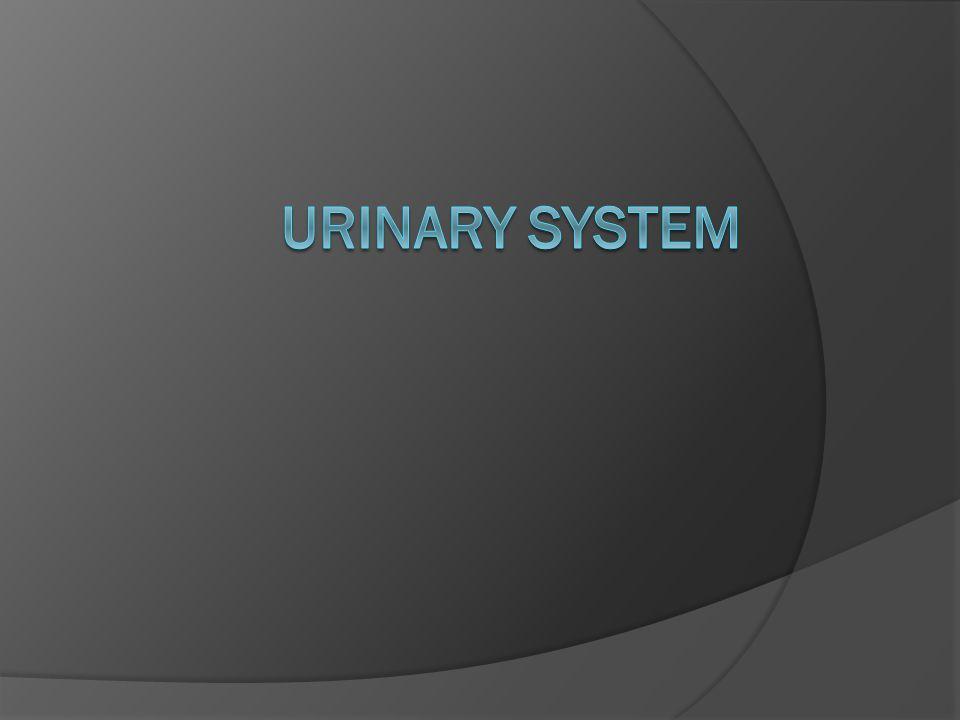 External urethral sphincter