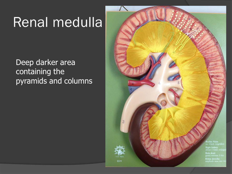 Interlobar vein Pass through the renal columns and receives blood from arcuate veins
