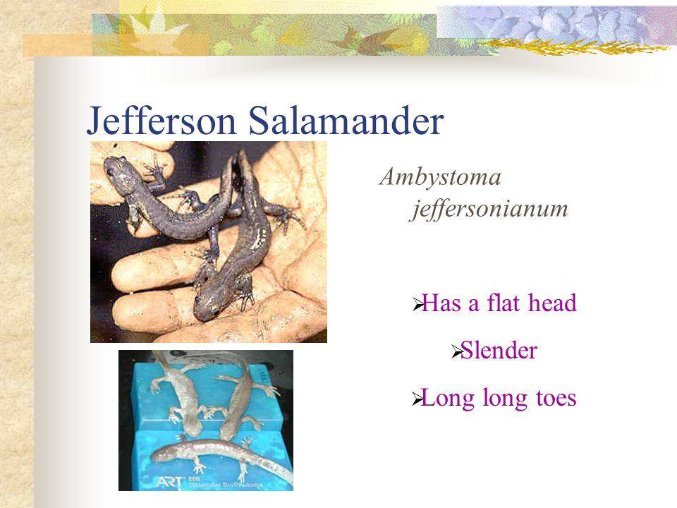 Jefferson Salamander Ambystoma jeffersonianum  Has a flat head  Slender  Long long toes