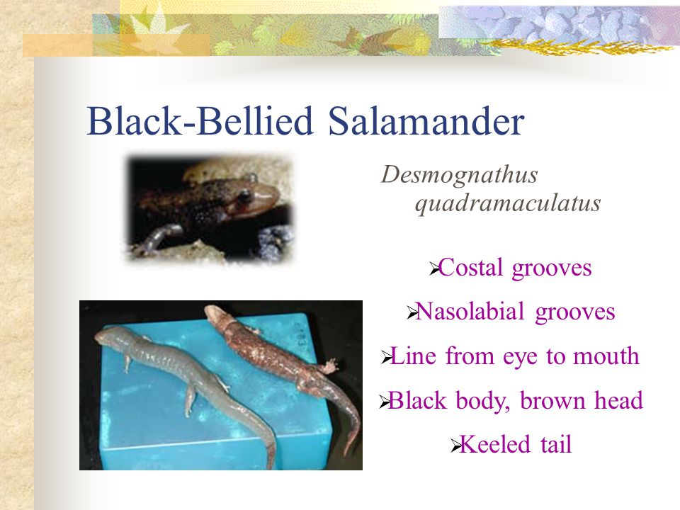 Black-Bellied Salamander Desmognathus quadramaculatus  Costal grooves  Nasolabial grooves  Line from eye to mouth  Black body, brown head  Keeled tail