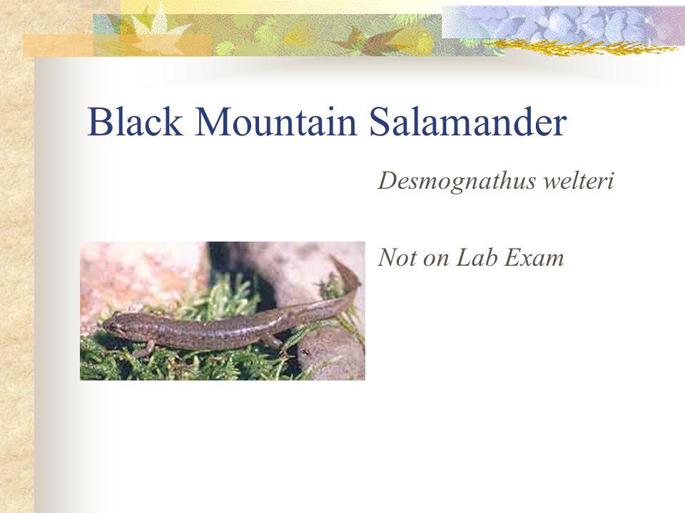 Black Mountain Salamander Desmognathus welteri Not on Lab Exam