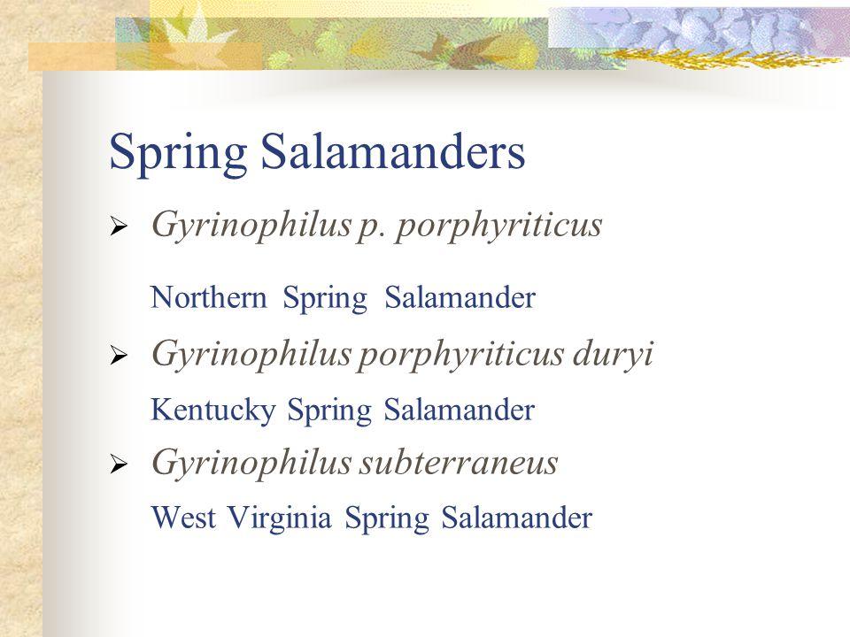 Spring Salamanders  Gyrinophilus p. porphyriticus Northern Spring Salamander  Gyrinophilus porphyriticus duryi Kentucky Spring Salamander  Gyrinoph