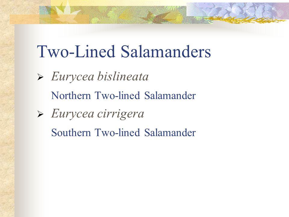 Two-Lined Salamanders  Eurycea bislineata Northern Two-lined Salamander  Eurycea cirrigera Southern Two-lined Salamander