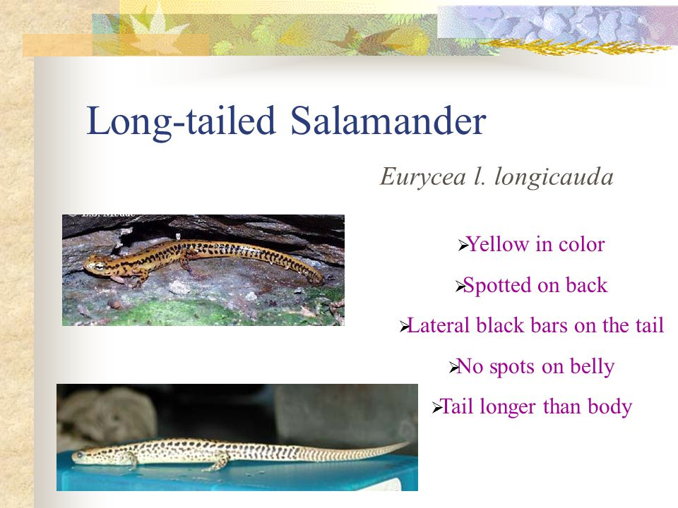 Long-tailed Salamander Eurycea l. longicauda  Yellow in color  Spotted on back  Lateral black bars on the tail  No spots on belly  Tail longer th