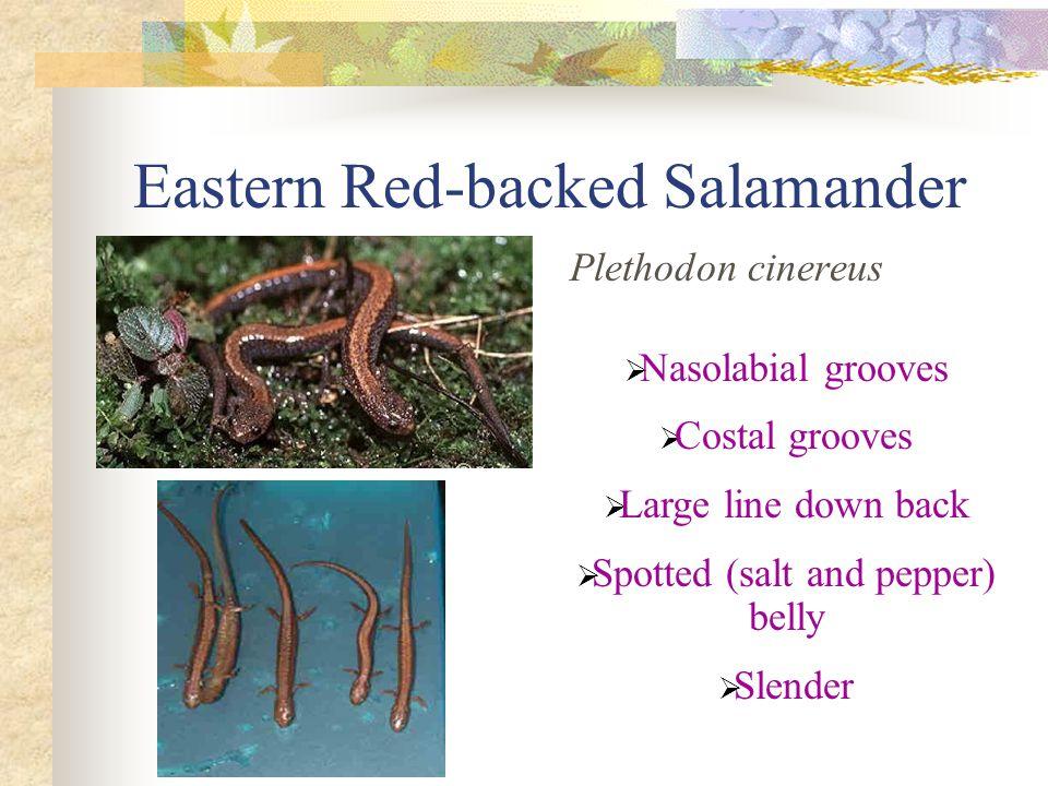 Eastern Red-backed Salamander Plethodon cinereus  Nasolabial grooves  Costal grooves  Large line down back  Spotted (salt and pepper) belly  Slender