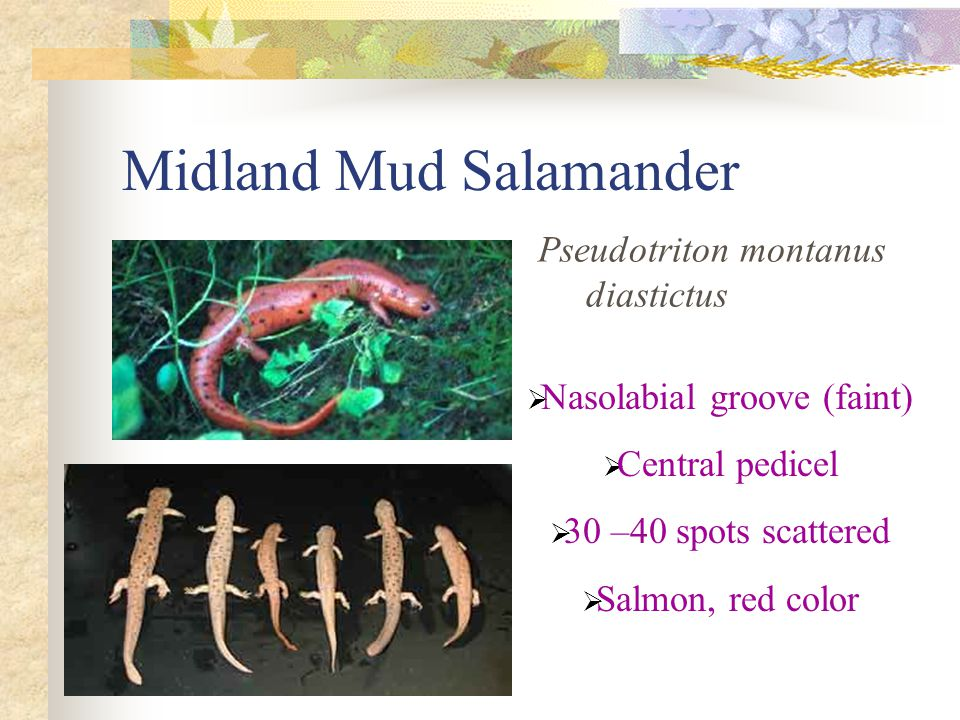 Midland Mud Salamander Pseudotriton montanus diastictus  Nasolabial groove (faint)  Central pedicel  30 –40 spots scattered  Salmon, red color