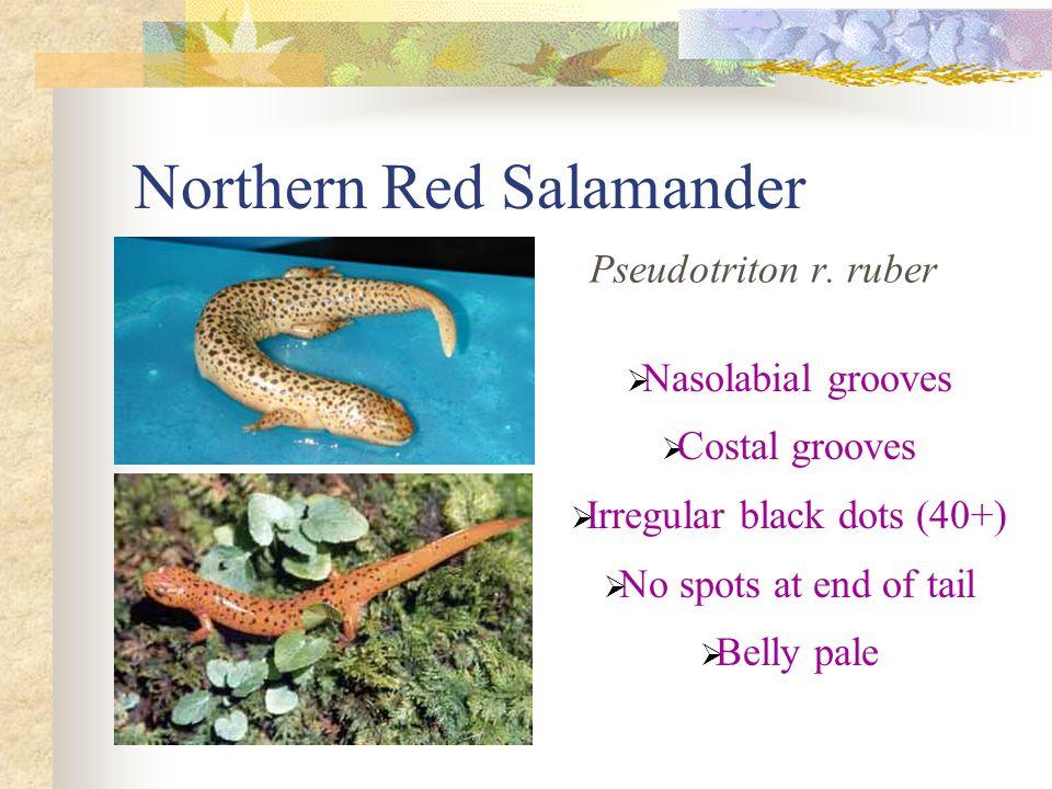Northern Red Salamander Pseudotriton r.