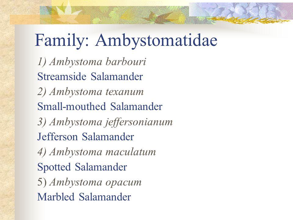 Family: Ambystomatidae 1) Ambystoma barbouri Streamside Salamander 2) Ambystoma texanum Small-mouthed Salamander 3) Ambystoma jeffersonianum Jefferson Salamander 4) Ambystoma maculatum Spotted Salamander 5) Ambystoma opacum Marbled Salamander