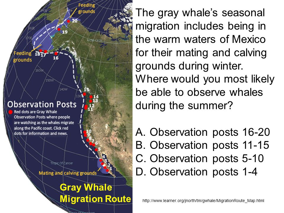 Gray Whale Migration Route The gray whale's seasonal migration includes being in the warm waters of Mexico for their mating and calving grounds during winter.