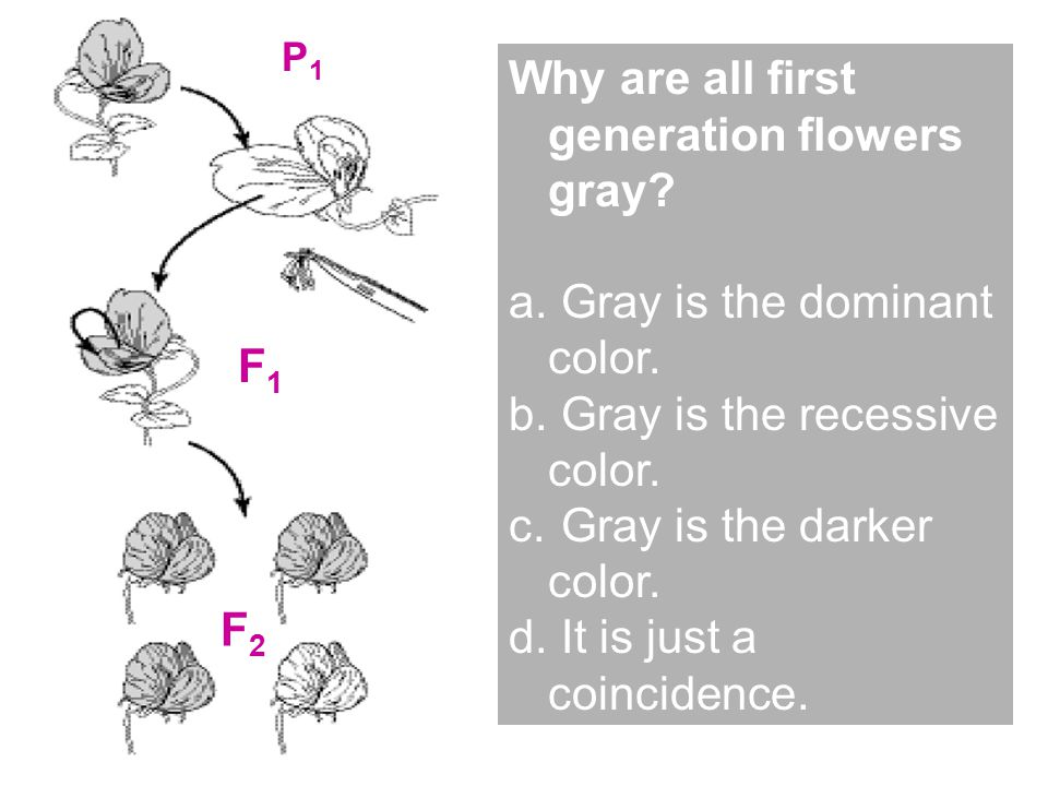 P1P1 F1F1 F2F2 Why are all first generation flowers gray.