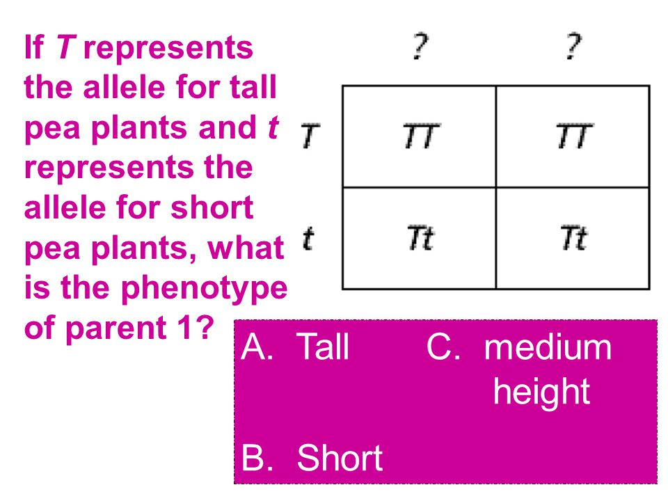 If T represents the allele for tall pea plants and t represents the allele for short pea plants, what is the phenotype of parent 1.