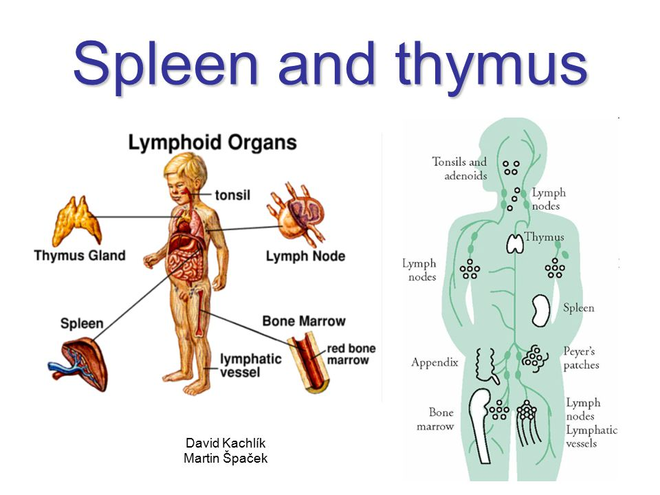 Spleen and thymus David Kachlík Martin Špaček