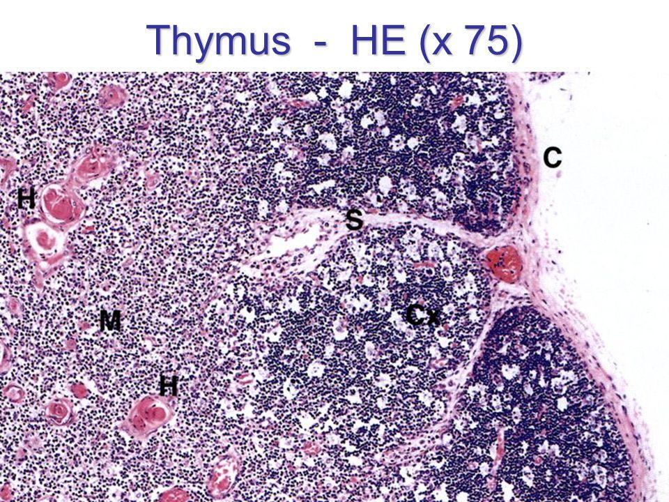 Thymus - HE (x 75)