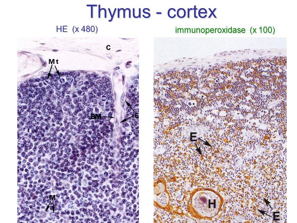 Thymus - cortex HE (x 480) immunoperoxidase (x 100)
