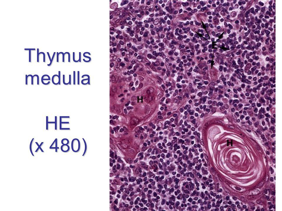 Thymus medulla HE (x 480)